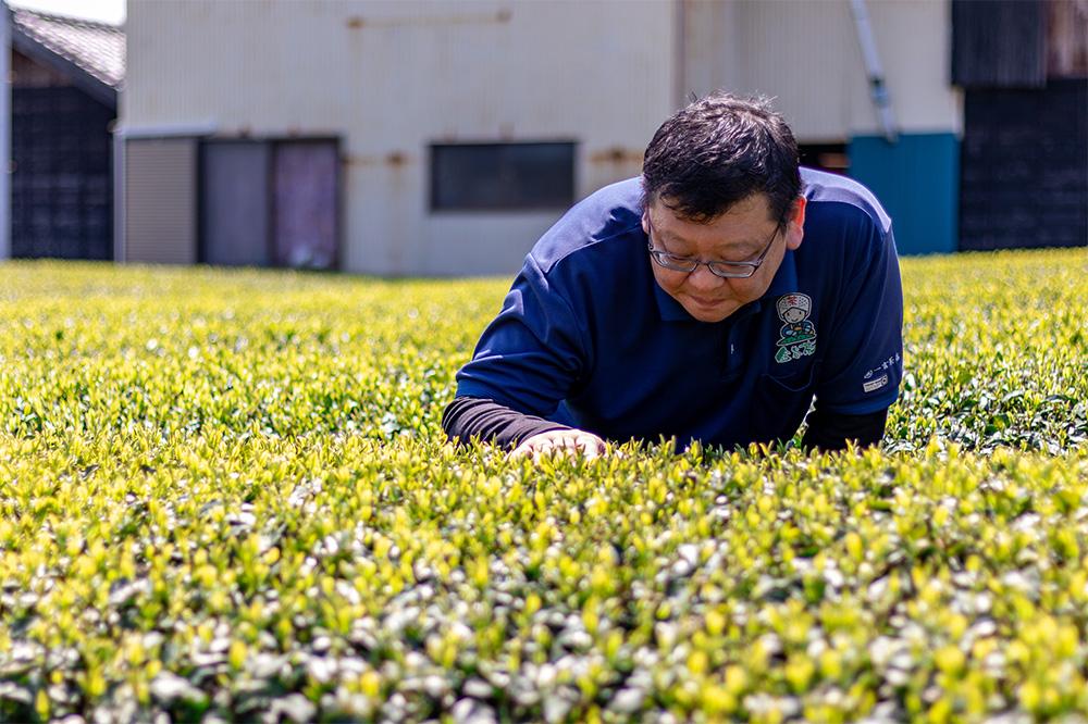 契約農家の茶畑