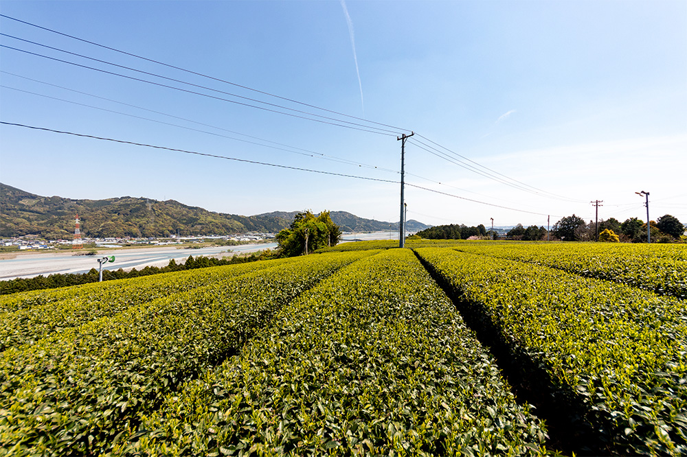 金谷茶の茶畑